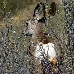 365-2-108 Deer browsing in the bush - Fish Creek Provincial Park (benlarhome) Tags: canada calgary alberta 365 fantasticnature