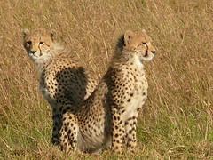 Cheetah Brothers ! (Mara 1) Tags: africa shadow grass animals eyes faces kenya wildlife sunny ears spots mara masai cheetahs