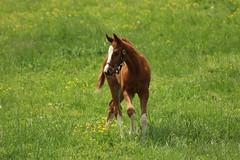 Chestnut Foal (iamdeertail) Tags: flowers horses horse flower green face grass yellow socks bay stripe running run chestnut halter mane foal foals