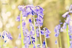 Bluebell heaven (beachaddictphotography) Tags: flowers plants macro nature field bluebells forest landscape woods nikon pretty bokeh outdoor magic dorset fairies depth wimborne d5500