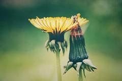 lean on me (***toile filante***) Tags: life flowers flower green nature yellow spring natur blumen dandelion gelb grn blume leben frhling lwenzahn
