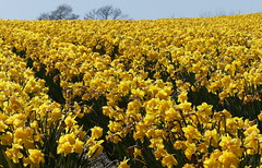 Homage to William Wordsworth (robbie20161) Tags: flowers nature sunshine wales outdoors countryside spring daffodils