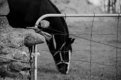 Respect for life.... (Kat Hatt) Tags: old horse fence gate dof halter cornerstone fencedin napanee behindafence lennoxaddington