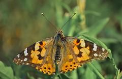 farfalla.jpg 2 (ecordaphoto) Tags: primavera nature butterfly spring nikon d nikkor boken 55300 d5100