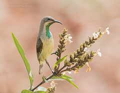 Beautiful Sunbird -Cinnyris pulchellus (rosebudl1959) Tags: beautiful gambia sunbird 2016