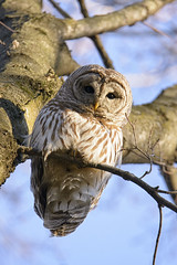 Barred Owl (jrlarson67) Tags: wild brown white tree bird eye nature beautiful beauty animal forest wings eyes nikon day branch looking nocturnal natural outdoor wildlife feathers feather raptor owl wise prey predator creature avian hooter barred feathered talons d7100