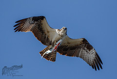 Osprey 4_27 (krisinct- Thanks for 12 Million views!) Tags: canon mark ii 7d 500 f4