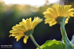 DSC_0027 (1) (Fluffphoto) Tags: flowers sunset sunlight golden lowes