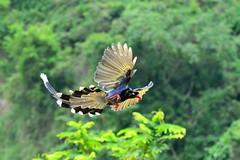 ~~  Urocissa caerulea (Shangfu Dai) Tags: bird nikon taiwan taichung formosa  d800   urocissacaerulea    afs70300mm