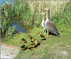 The Geese Family .. (** Janets Photos **) Tags: uk nature geese wildlife goslings hull naturereserves ganders bransholme