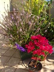 Flowering Corner (Assaf Shtilman) Tags: pink white mountain corner purple spires magic indigo bougainvillea basil flowering