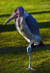 Stand by (MaiGoede) Tags: berlin marabou storch marabu berlinerzoo