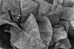 Dark rivers (tomas.restrepo) Tags: blackandwhite flower macro nature garden flora bougainvillea