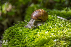 Beautiful snail - Helix pomatia (WDnet) Tags: food brown white house color detail macro green nature beautiful animal closeup forest garden leaf spring healthy movement shiny soft close image outdoor farm background wildlife snail land helix edible delicacy frenchcuisine pomatia d3100