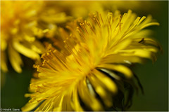 I Love Yellow (Hindrik S) Tags: plant flower macro green nature yellow closeup flora sony natuur dandelion creation 90mm geel bloem giel a57 taraxacumofficinale paardebloem hynsteblom naturesfinest natuer blom schepping sonyalpha tamronspaf90mmf28dimacro natoer skepping sonyphotographing slta57 57