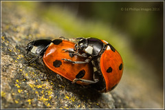 Ladybird - Pair (Ed Phillips 01) Tags: macro insect beetle ladybird ladybug staffordshire mpe 7spot