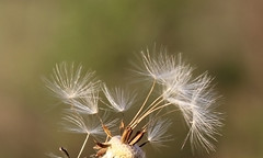 Dandelion Hairs 4 (megforce1) Tags: flowers nature floral weeds wish dandelions