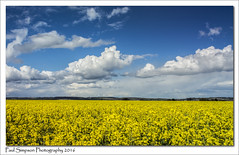 Yellow Field (Paul Simpson Photography) Tags: nature clouds spring farming bluesky lincolnshire naturalbeauty naturalworld rapeseed newgrowth oilseedrape naturephotos yellowfields photosof imageof photoof imagesof photosofnature sonya77 paulsimpsonphotography spring2016