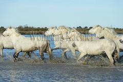 40080986 (wolfgangkaehler) Tags: horse white france water french europe european running wetlands marsh splash herd marshland wetland camargue southernfrance splashing marshlands galloping 2016 whitehorses camarguehorses