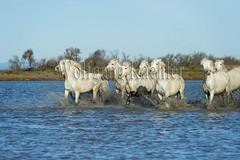 40081009 (wolfgangkaehler) Tags: horse white france water french europe european running wetlands marsh splash herd marshland wetland camargue southernfrance splashing marshlands galloping 2016 whitehorses camarguehorses