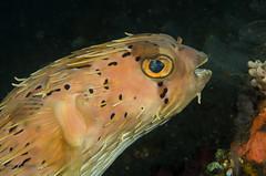 Swept back hair (Simon Franicevic) Tags: bali tulamben ballonfish diodonholocanthus melasti