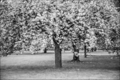 summarex III - glowing (Paucal) Tags: leica de 85mm du sakura mm monochrom antony parc japon hanami sceaux f15 cerisiers summarex