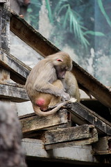 IMG_6719 (Claire-L) Tags: animal monkey skansen singe