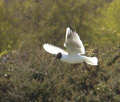 DSC_9547.NEF (giles sanders) Tags: birds national trust dunwich