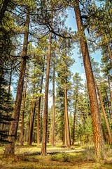 Outdoor Seating - A picnic table sits nestled in a pondarosa pine forrest - Central Oregon           #picnic     #outdoors     #centraloregon     #pondarosa     #pine     #pnw     #landscape   #landscapephotography   #nature   #naturephotography  #fineart (raymanningphotography) Tags: nature pine centraloregon landscape outdoors picnic fineart pnw fineartphotography naturephotography pondarosa landscapephotography promotephotography raymanningphotography