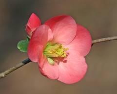 a Christmas flowering quince (Vicki's Nature) Tags: floweringquince flower blossom pink touchofyellow macro detail stem shrub yard georgia vickisnature twocolors threecolors 2311 bud touchofgreen
