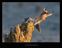 Touch and go (stefanocaccia61) Tags: nature birds animals wings wildlife flight ali uccelli volo trunk ghiandaia