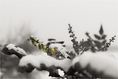 poor timing (goehler.mike) Tags: schnee winter snow flower outdoor blume schrfentiefe colorkeying bookeh