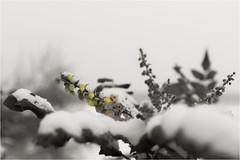 poor timing (goehler.mike) Tags: schnee winter snow flower outdoor blume schärfentiefe colorkeying bookeh