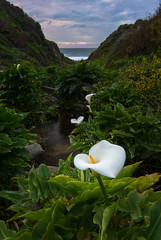 Cala Lilies In Garrapata State Park (Minta Minta Photography) Tags: ocean white seascape flower green water vertical creek coast pacific horizon bigsur highway1 lilies garrapatastatepark graceful centralcalifornia landscapephotography wildcallalilies