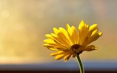 Morning Sunshine (linda_lou2) Tags: yellow daisy backlit 2366 100flowers ayellowflower day2366 themeno100 366the2016edition 3662016 116picturesin2016 2jan16