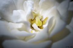 The Hidden Secret II (Noelia Pisani) Tags: flor jazmin faunayflora