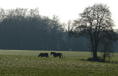 Two friends (joeke pieters) Tags: horses horse holland tree netherlands landscape cheval january nederland boom paysage landschaft arbre pferd baum achterhoek winterswijk landschap chevaux paard paarden gelderland pferden brinkheurne platinumheartaward 1250858 panasonicdmcfz150