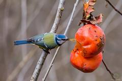 Cyanistes caeruleus vs Diospyros kaki (Pasquale Sannino) Tags: blue bird birds tit firenze eurasian birdwatching caeruleus kaki sesto diospyros cyanistes fiorentino cinciarella parcodellapiana