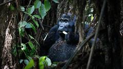 Bikingi silverback (Lil [Kristen Elsby]) Tags: africa travel nationalpark gorilla wildlife topv1111 uganda primate gorillas silverback silverbackgorilla travelphotography mountaingorilla bwindiimpenetrablenationalpark canon5dmarkii bikingi bikingigroup