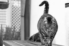 Harry (No_Water) Tags: cat deutschland tiger harry sw weiss schwarz badenwrttemberg ebersbachanderfils
