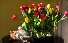 Flower Arranging (cuppyuppycake) Tags: flowers pet sunlight kitchen cat table nikon tulips indoor herbie d7200