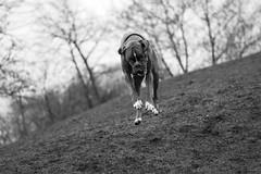 Flying boxer (Tams Szarka) Tags: blackandwhite dog pet nature animal puppy outdoor boxerdog