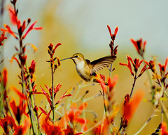 Out In The Field (vgphotoz) Tags: flowers red arizona nature nikon hummingbird ngc nikkor outinthefield vgphotoz