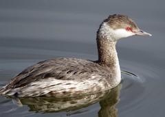 Horned Grebe (schreckpeter45) Tags: nature birds birding waterfowl grebes birdphotography hornedgrebe wintermigrants wilmingtonriver coastalphotography