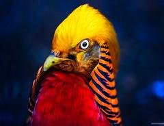 Psychotic Bird (Stefan Liebermann) Tags: red portrait orange color rot bird eye nature animal yellow wonderful germany gold colorful pheasant gelb psychotic auge irre farben schnabel ilmenau farbenfroh farbenprchtig fasan