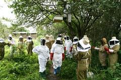 Looking for princesses (Kiliweb) Tags: tanzania bees s beekeeping manyoni