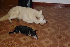 Nanna... (DanielOssino_EducatoreCinofilo) Tags: two dog white dogs cane shepherd swiss room tired mussel bye takoda bianco due nanna stanza cani pastore cozza stanco beddy swissshepherd pastoresvizzero pastoresvizzerobianco beddyebye svzzero