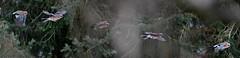 Eichelhherflug (Weinstckle) Tags: vogel flug rabenvogel eichelhher