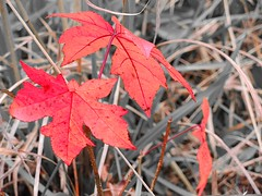 red gum leaves (Howell Weathers) Tags: red grass leaves outdoor alabama desaturation redgum
