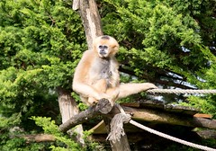 White cheeked gibbon 271215  02 (Leigh James (Fidgitydigit)) Tags: primate gibbon whitecheekedgibbon zoodelaflechefrancezoo